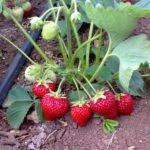 Клубника с ягодами в открытом грунте