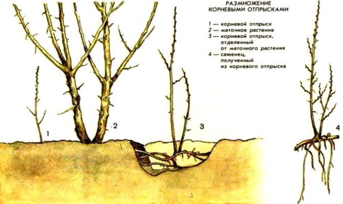 Схема куста малины с корневыми отпрысками