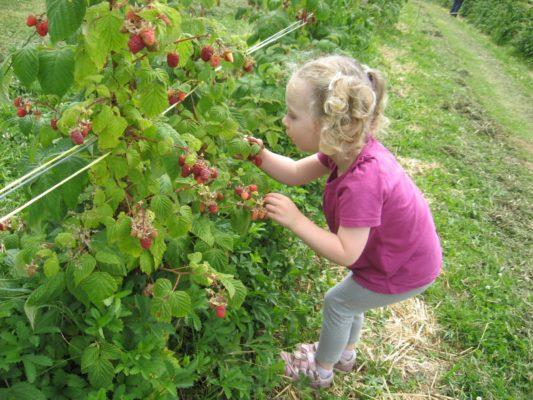 Девочка собирает малину