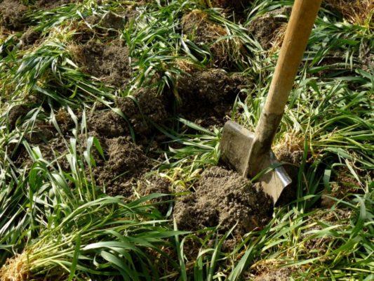 Перекопка почвы с сидератами