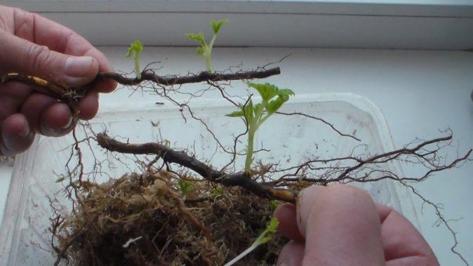 Размножение малины корневыми черенками