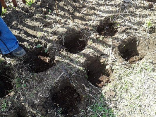 Углубления для посадки малины