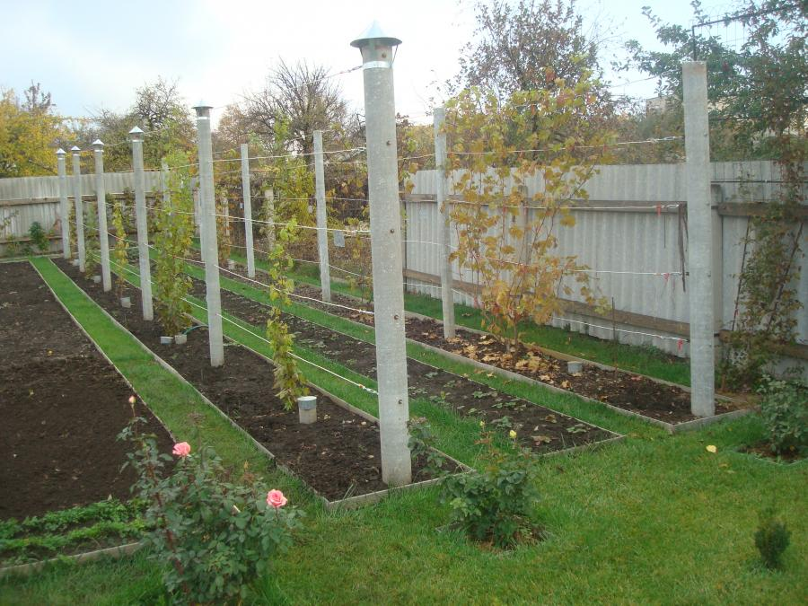 где лучше посадить виноград на участке