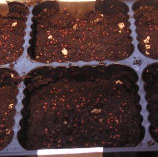 Посев рассады клубники