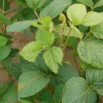 Вирус листовой мозаики