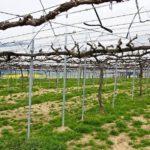 Штамбовая формировка винограда