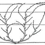 Бесштамбовая формировка винограда