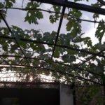 Виноград в виде арки
