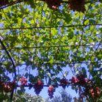 Виноград в беседочной формировке