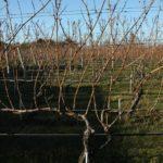 Кордонная формировка винограда