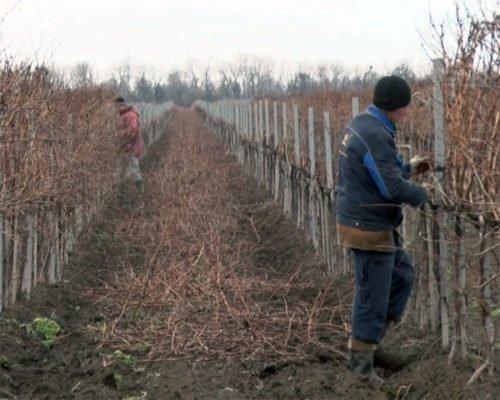 Декабрьская обрезка винограда на Кубани