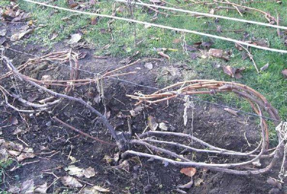Веерная формировка винограда в Сибири