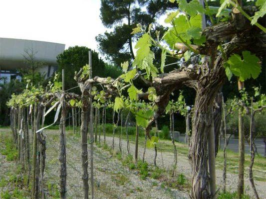 Виноград на длинном штамбе