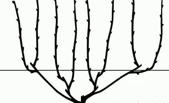 Бесштамбовый веер для винограда