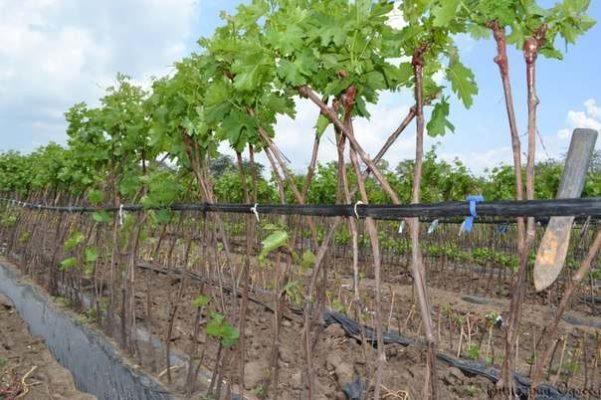 Вариант штамбовой формировки винограда
