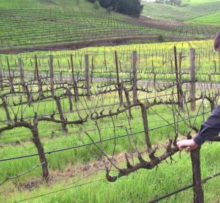 Горизонтальный кордон для винограда
