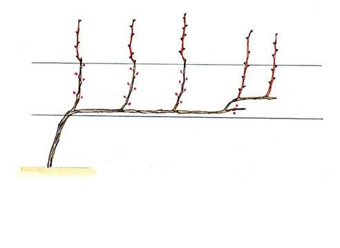 Однорукавная формировка винограда