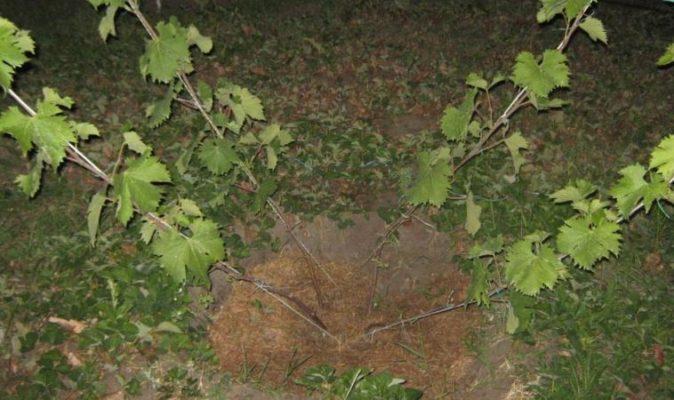 Вариант веерной формировки винограда