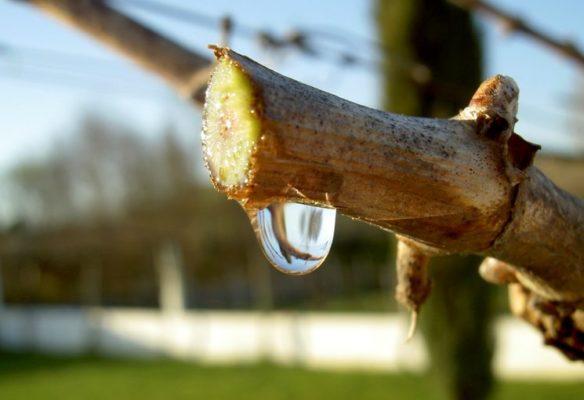 «Плач» виноградной лозы