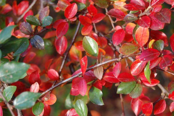 Кизильник осенью