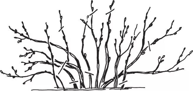 Обрезка взрослого куста смородины