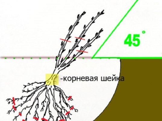 Схема высадки саженца чёрной смородины