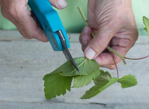 Зелёные черенки чёрной смородины