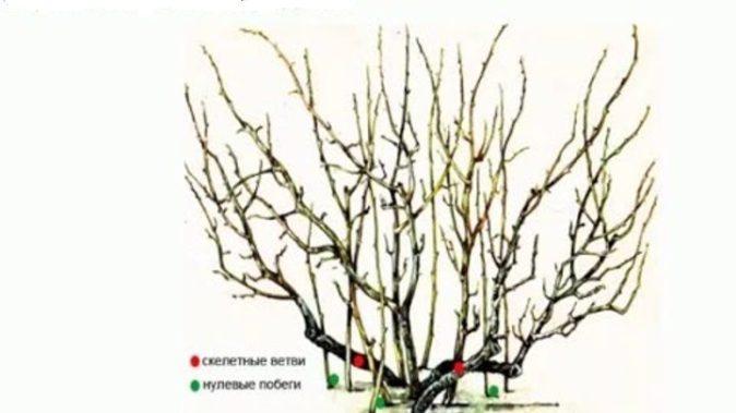Схема расположения веток смородины