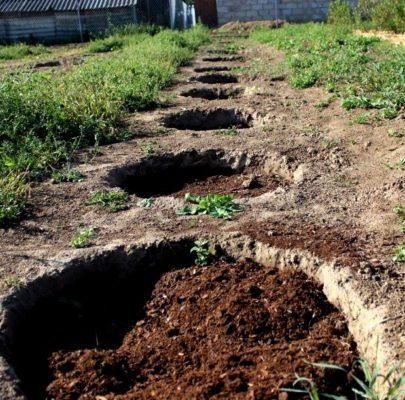 Посадочные ямы для смородины