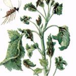 Смородинная листовая галлица