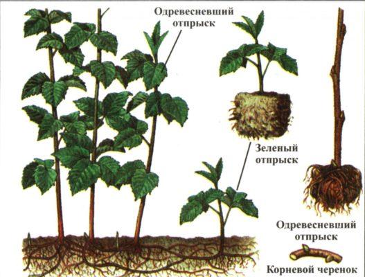 Посадочный материал для размножения малины