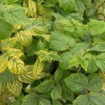 Внешний вид листьев малины при нехватке железа