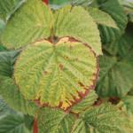 Внешний вид листьев малины при нехватке калия