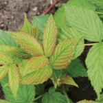 Внешний вид листьев малины при нехватке фосфора