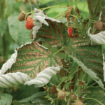Внешний вид листьев малины при нехватке магния