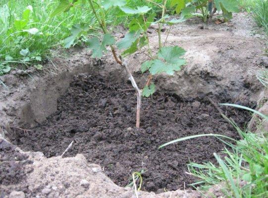 Высаженный саженец винограда