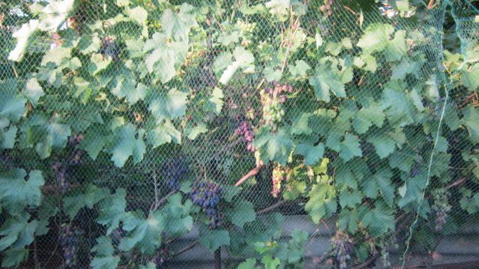 Виноград под сеткой
