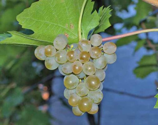 Кисть винограда сорта Кристалл