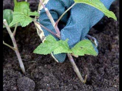 Высаживание черенков красной смородины
