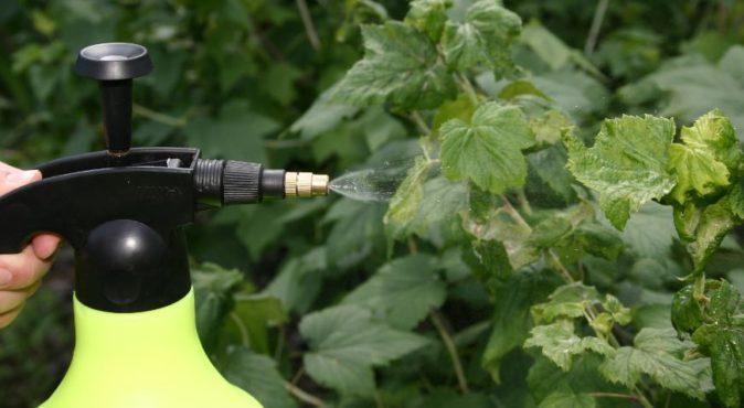 Опрыскивание малины азотсодержащими удобрениями