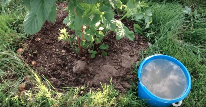 Жидкая подкормка малины
