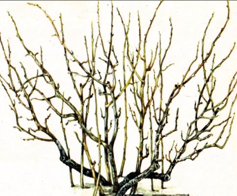 Рисунок куста смородины