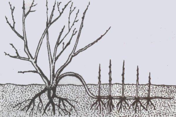 Размножение красной смородины отводками