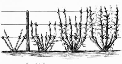 Выращивание красной смородины на шпалере