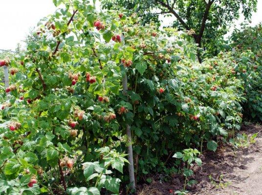 Куст малины с ягодами