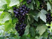 Ветвь чёрной смородины