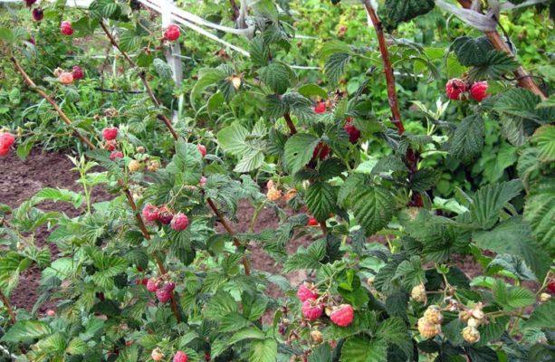 Кусты малины с ягодами