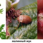 Малинный жук и личинка