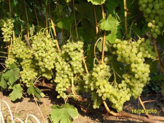 Кисти винограда сорта Алёшенькин