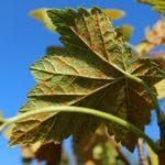 Ржавчина листьев малины